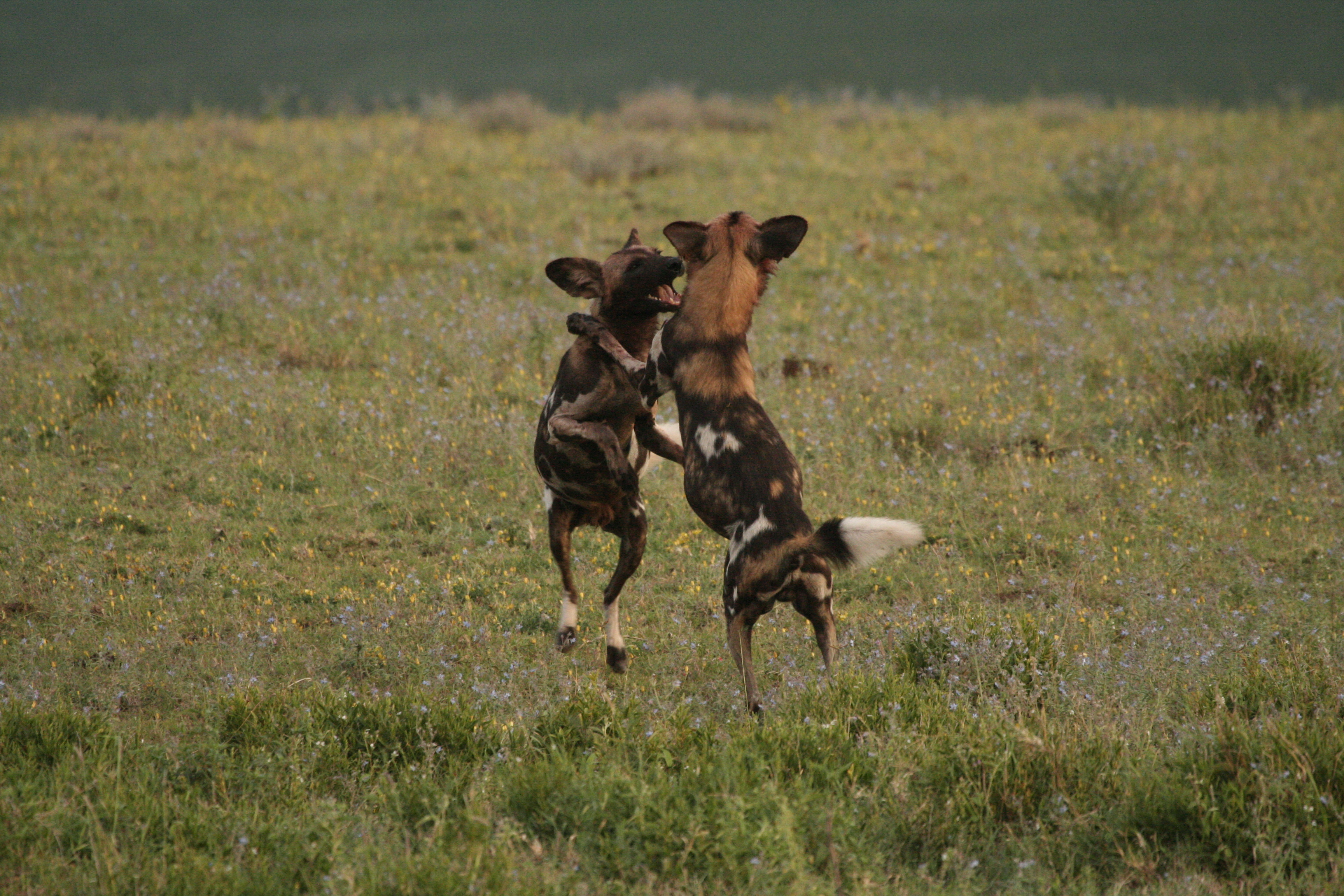 African Wild Dogs, NCA